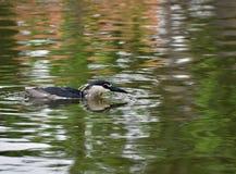 黑被加冠的夜鹭属 库存图片