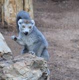 被加冠的狐猴画象 图库摄影