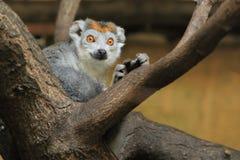 被加冠的狐猴 库存照片