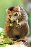 被加冠的狐猴 免版税库存图片