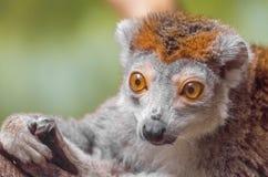 被加冠的狐猴特写镜头 免版税库存照片
