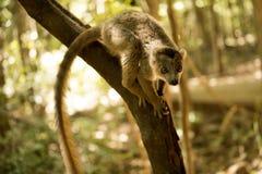 被加冠的狐猴, Eulemur coronatus,在Ankaran储备的一个分支,马达加斯加 库存照片