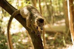 被加冠的狐猴, Eulemur coronatus,在Ankaran储备的一个分支,马达加斯加 库存图片