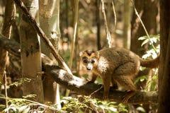 被加冠的狐猴, Eulemur coronatus,基于藤Ankarana储备,马达加斯加 免版税库存图片