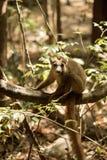 被加冠的狐猴, Eulemur coronatus,基于藤Ankarana储备,马达加斯加 图库摄影