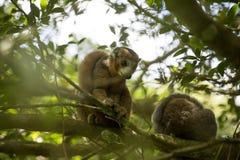 被加冠的狐猴, Eulemur coronatus,是几乎无形的在树,琥珀色的山,马达加斯加 库存照片