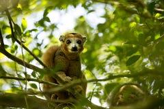 被加冠的狐猴, Eulemur coronatus,是几乎无形的在树,琥珀色的山,马达加斯加 免版税库存图片
