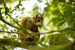 被加冠的狐猴, Eulemur coronatus,是几乎无形的在树,琥珀色的山,马达加斯加 库存图片