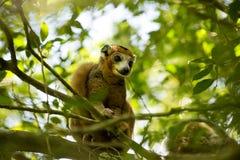 被加冠的狐猴, Eulemur coronatus,观看摄影师,琥珀山国家公园,马达加斯加 免版税库存照片
