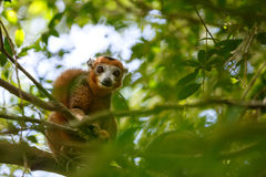 被加冠的狐猴Ankarana国家公园,马达加斯加 免版税库存图片