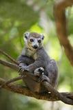 被加冠的狐猴Ankarana国家公园 图库摄影