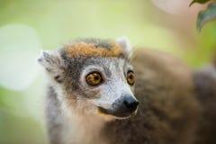 被加冠的狐猴Ankarana国家公园 免版税库存照片