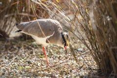 被加冠的珩科鸟哺养 免版税图库摄影