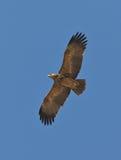 被加冠的老鹰飞行 库存照片