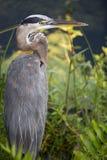 被加冠的苍鹭晚上黄色 免版税库存照片