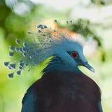 被加冠的鸽子纵向维多利亚 免版税库存图片