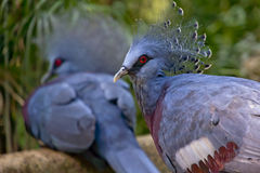 被加冠的鸽子 免版税图库摄影