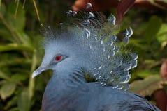被加冠的goura鸽子维多利亚 免版税库存照片