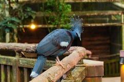 被加冠的goura鸽子维多利亚 库存照片