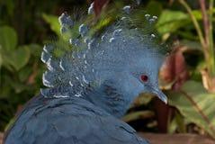 被加冠的goura鸽子维多利亚 免版税图库摄影