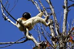 被加冠的Sifaka狐猴(Propithecus coronatus) 免版税库存图片