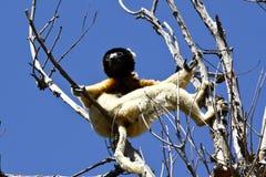 被加冠的Sifaka狐猴(Propithecus coronatus) 库存照片