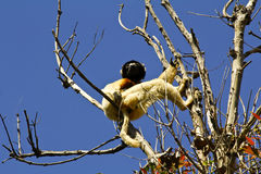 被加冠的Sifaka狐猴(Propithecus coronatus) 库存图片