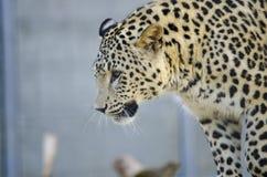 被加点的猫-豹子 免版税图库摄影
