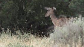 被加点的走在照相机视图之外的小鹿和妈妈 股票视频