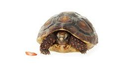被卷起的草龟 免版税库存图片