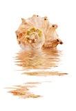 被反射的海运壳白色 免版税库存照片