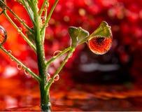 被反射的红色大丁草 库存图片
