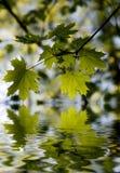 被反射的绿色叶子烈 免版税图库摄影