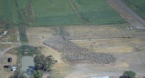 被召集的美利奴绵羊的母羊 库存图片
