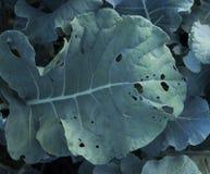 被吃的硬花甘蓝叶子 免版税库存图片