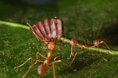 被吃的红色蚂蚁诱饵 库存图片