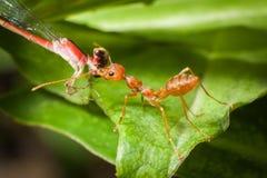 被吃的红色蚂蚁诱饵 图库摄影