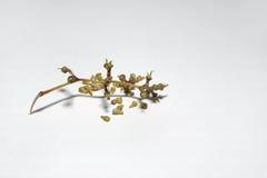 被吃的葡萄 剩余的词根和骨头 免版税库存图片
