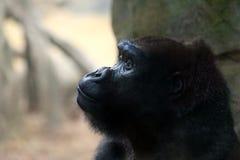 被启发的大猩猩 免版税库存照片