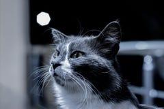 被吸引的猫 库存照片
