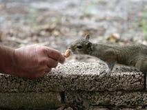 被喂养的现有量灰鼠 免版税库存照片