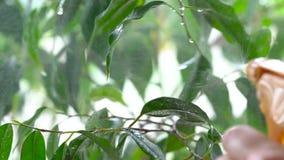 被喷洒的水在绿色植物的叶子落 特写镜头 股票录像