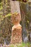 被嚼的海狸树 库存图片
