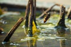 被困住的亚洲巨型大黄蜂 免版税库存照片