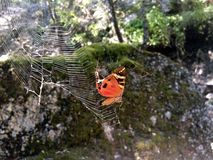 被困住的蝴蝶 库存图片