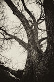 被困扰的老结构树 免版税库存照片