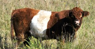被围绕的盖洛韦是遗产牛肉品种 库存图片