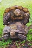 被堆积的乌龟 免版税库存照片
