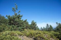 被填塞的草丛和苏格兰松树森林 免版税库存照片