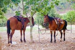 被备鞍的两匹栗子马 库存图片